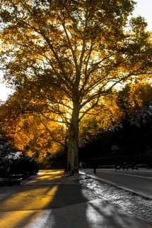 Central Park Tree