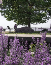 Red Hook - Lavender Field